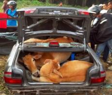 Cows in Proton Wira