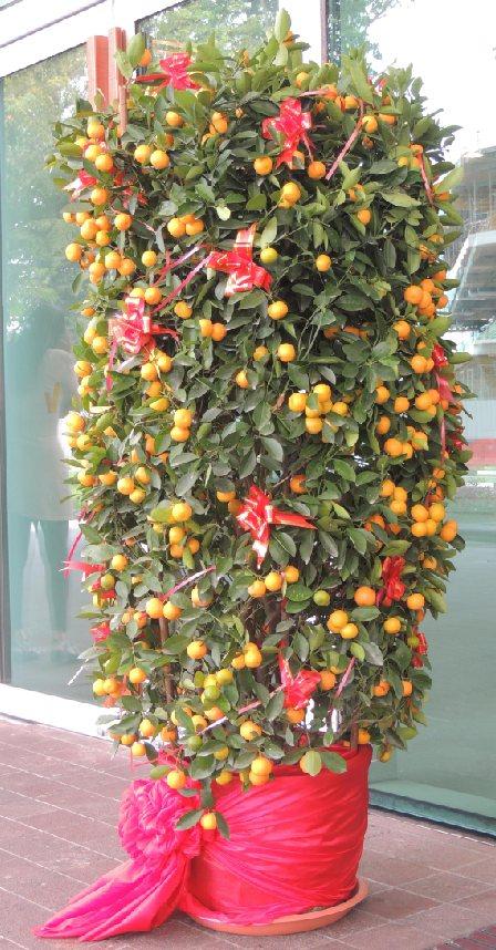 Orangenbaum1