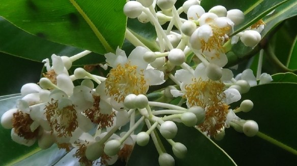 Macadamia-Blüten
