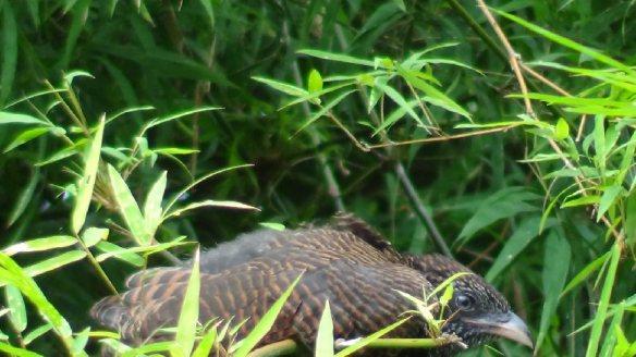 BambooBird