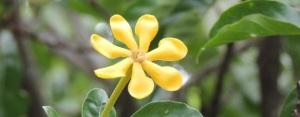 Gelbe Gardenie